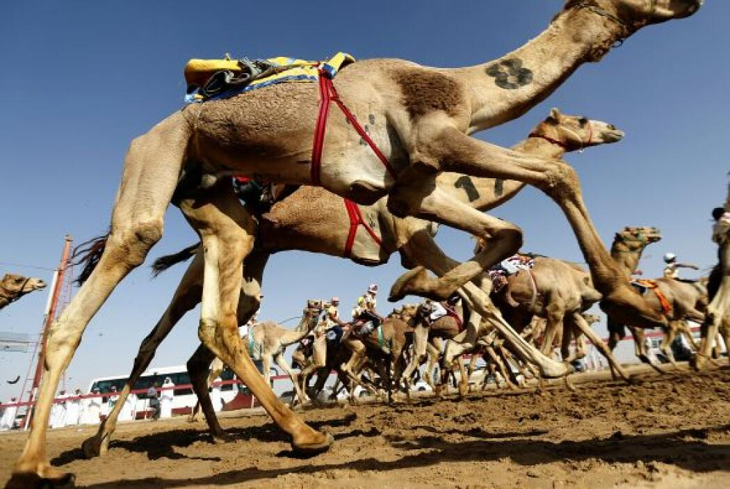 Tal es la pasión de los saudíes por los camellos, que gastan millones de...