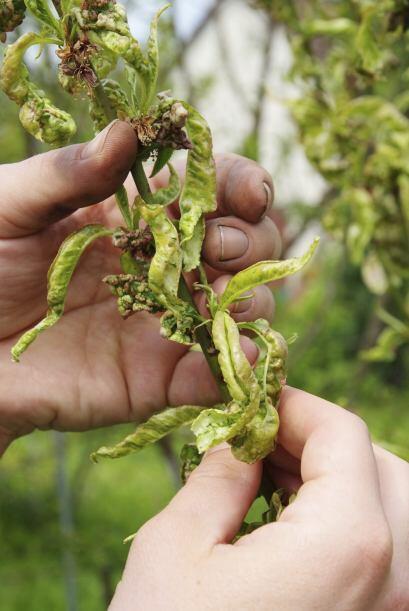 Doctora de jardín. Deshazte de las hojas enfermas de las plantas infecta...