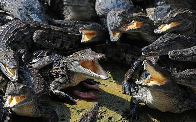 Cocodrilos del Nilo podrían amenazar los animales nativos de los...