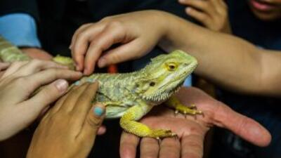 Pogona vitticeps es una de las ocho especies de dragones barbudos que se...