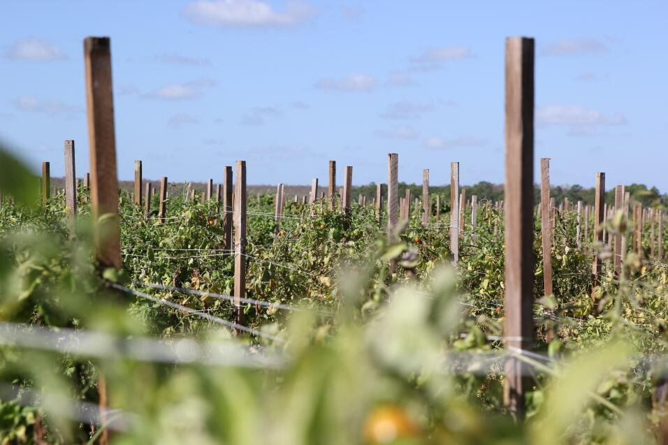 Un campo de tomates cherry a unas millas al sur de Immokalee. Los campes...