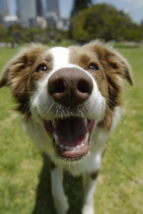 Muchos de estos canes no son robustos pero es vital para ellos el ejerci...