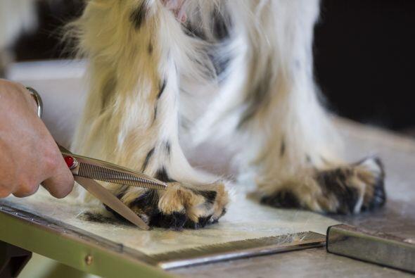 Las uñas de los perros también deben cortarse regularmente...