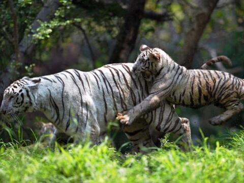 Comencemos nuestro recorrido por el mundo con este cachorro de tigre bla...