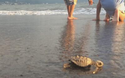 Conozca el programa que ayuda a preservar la vida de las tortugas marina...