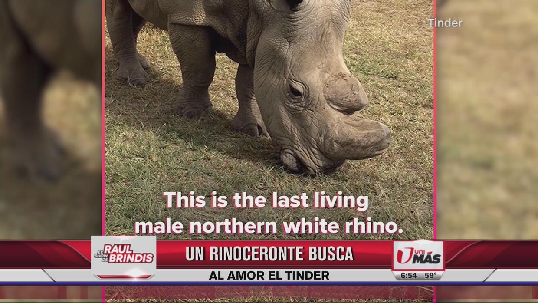 Rinoceronte acude a Tinder para poder aparearse