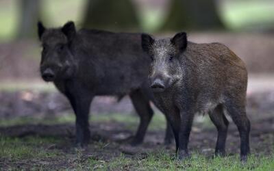"""""""Es posible que su movimiento molestara a una manada de cerdos salv..."""