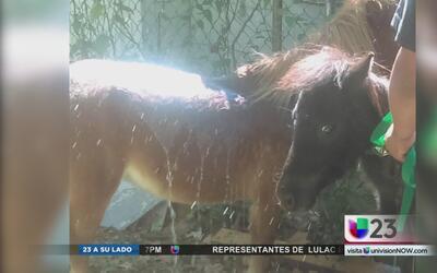 Familia busca a sus dos ponis desaparecidos