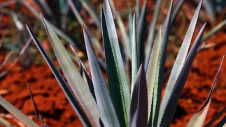Agave azul tequilana weber, materia prima para la producción de tequila