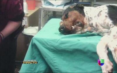Crueldad animal con perros a los que hacen implantes dentales