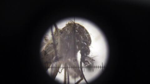 Un mosquito Aedes aegypti, transmisor del virus del zika, visto a trav&e...