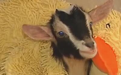 Esta cabra logra vencer la ansiedad de una manera inusual