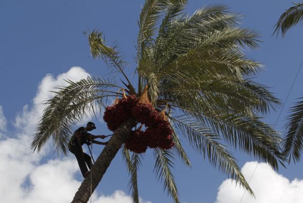 Un agricultor palestino trepó una palmera emblemática en Jan Yunis, una...