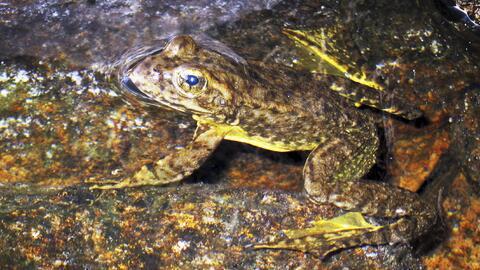 En el último siglo ha desaparecido el 90% de las ranas de patas a...