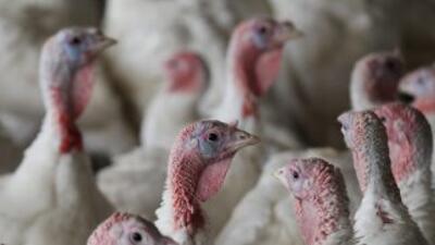 Días antes de Acción de Gracias, cientos de pavos permanecen en un grane...