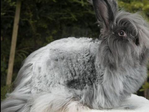 Si tienes un conejo como estos y no sabes qué hacer con su gran p...