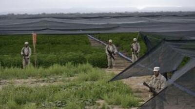 Las fuerzas armadas de México dejaron de combatir los plantíos clandesti...