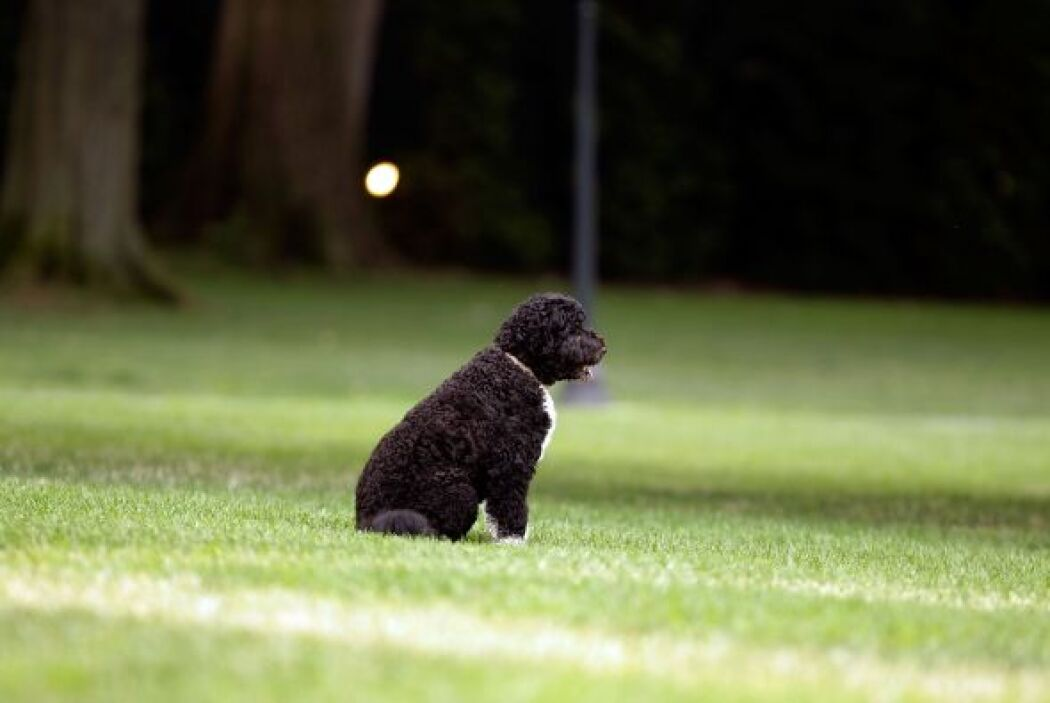 Y sin duda alguna, hoy Bo es todo un referente de la familia Obama.