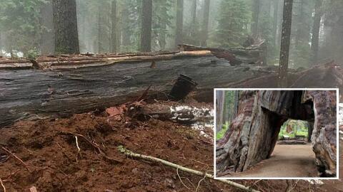 Imagen del antes y después del 'Pioneer Cabin Tree' en California.