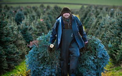 Árboles naturales de Navidad podrán ser reciclados en las 12 estaciones...