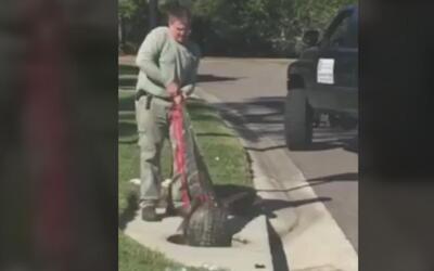 Un hombre extrajo un caimán del alcantarillado de una calle en Florida