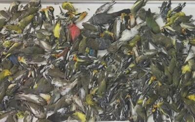 Casi 400 pájaros mueren tras estrellarse contra los cristales de un hist...