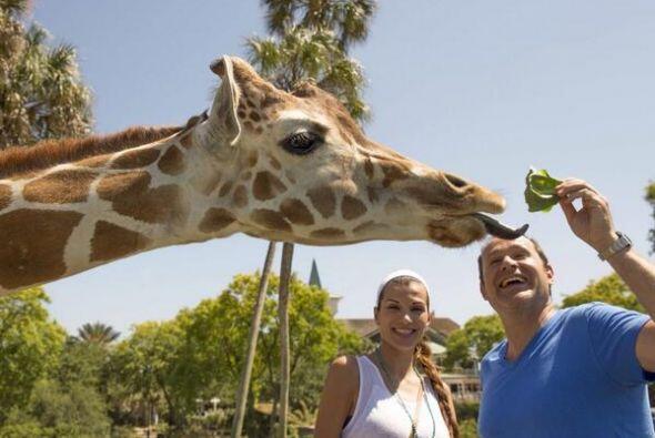 """""""Qué bien la pasamos en @buschgardens Cómo nos divertimos esta jirafa es..."""