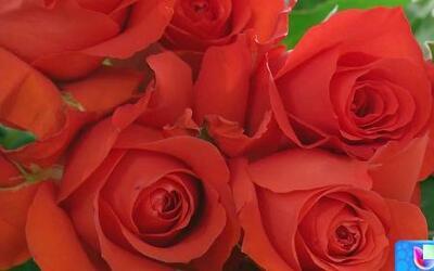 Rosas ecuatorianas, las mejores flores para San Valentín