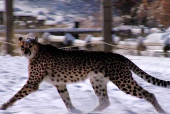 Él es Savanah un guepardo que, por lo visto, no tiene ning&uacute...