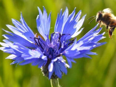 A comenzar la vuelta por el mundo con la imagen de esta abeja, sobrevola...
