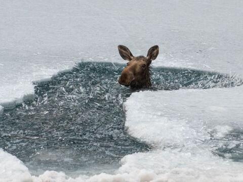 Un pobre alce cayó a la frías aguas del Lago Muncho, en Ca...