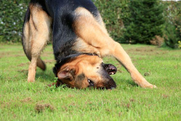 Luego de que el perro hace sus necesidades, es muy común que pase sus pa...