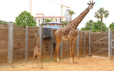 Crece la familia de jirafas del zoológico de Houston