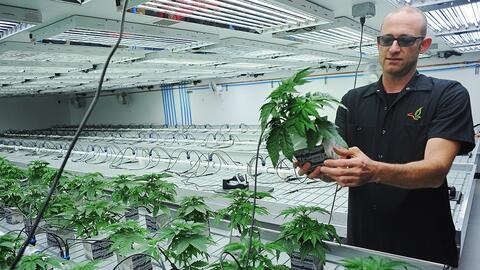 Imagen de archivo de una plantación de marihuana en Flandreau (Dakota de...