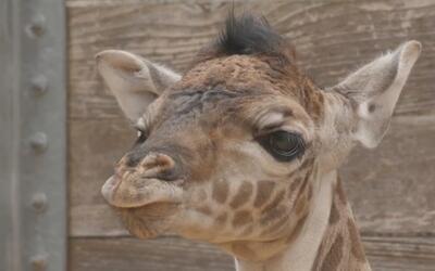 Nace segunda jirafa en el Zoológico de Houston