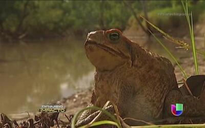 Una rana podría ayudar a combatir el cáncer de próstata