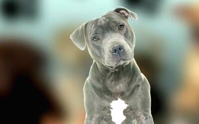 ¿Por qué están prohibidos los perros pitbull en el condado Miami-Dade?