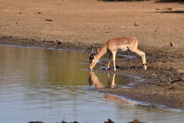 Un impala bebía plácidamente en el Parque Nacional Kruger...