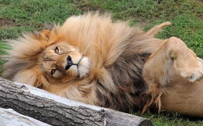 León es fanático de su melena