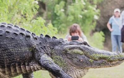 No es un montaje, el caimán gigante más popular de las redes sociales ex...
