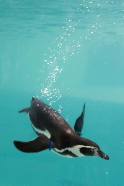 Esta pingüino de tres años de edad no ha tenido mucha suerte para enamor...