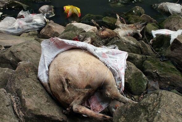 Las autoridades de Shanghai retiraron cerca de seis mil cerdos muertos d...