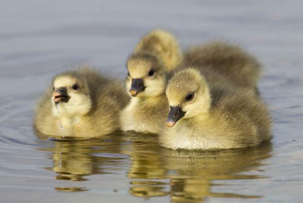 ¡Los primeros bebés ganzo de la temporada nacieron y de inm...