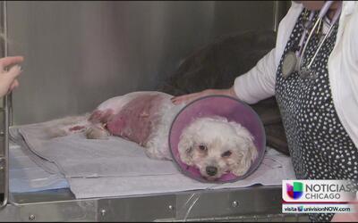 Perrita defiende a su dueña del ataque de dos perros pit bull y queda mu...
