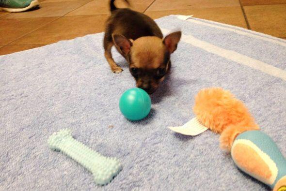 Debido a que es tan pequeñito, este chihuahua de dos meses de nacido no...
