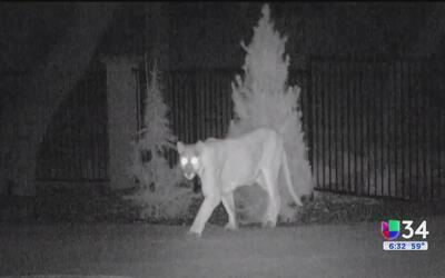 Captan a un puma merodeando en una casa de Murrieta