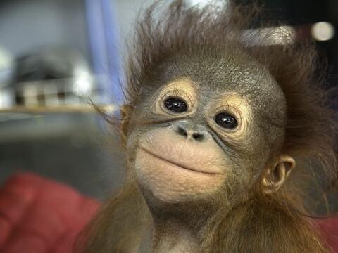 Es difícil creer que siendo tan pequeños, estos orangutane...