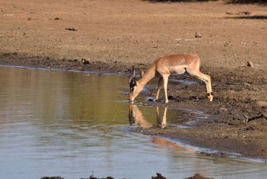 Un impala bebía plácidamente en el Parque Nacional Kruger en Sudáfrica.