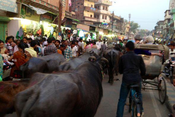 Estos animalitos son los causantes del tráfico en Benarés.