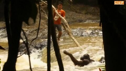 En video: Rescatan a un orangután que quedó atrapado entre las aguas tor...
